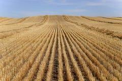 Campo de grano cosechado imagenes de archivo
