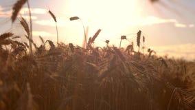 Campo de grano en fondo del sol almacen de metraje de vídeo