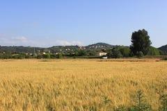 Campo de grano y el cielo azul Imagenes de archivo