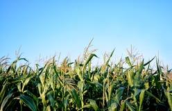 Campo de granos en verano Outodoor foto de archivo libre de regalías