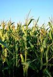 Campo de granos en verano Outodoor fotos de archivo