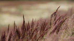 Campo de hierba del movimiento del viento de la pluma almacen de metraje de vídeo