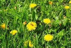 Campo de hierba del verano con las abejas del diente de león y de la miel del flor Fotos de archivo