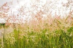 Campo de hierba rosado hermoso Imágenes de archivo libres de regalías