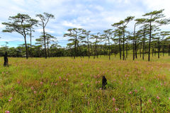 Campo de hierba verde y árbol de pino con el cielo nublado imágenes de archivo libres de regalías