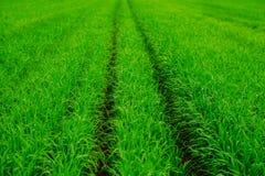 Campo de hierba verde y fondo brillante del cielo azul Imagen de archivo