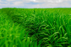 Campo de hierba verde y fondo brillante del cielo azul Imagen de archivo libre de regalías