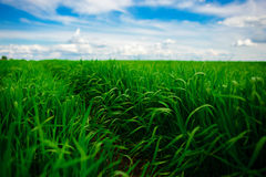 Campo de hierba verde y fondo brillante del cielo azul Imágenes de archivo libres de regalías