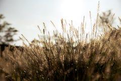 Campo de hierbas en la salida del sol Foto de archivo