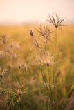 Campo de hierbas en la salida del sol Imagen de archivo libre de regalías