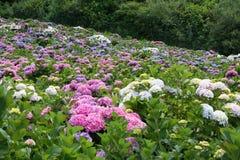 Campo de hortensias hermosas, CA Foto de archivo