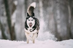 Campo de Husky Dog Running Outdoor In Nevado del siberiano en el día de invierno Imágenes de archivo libres de regalías