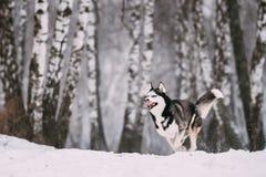 Campo de Husky Dog Running Outdoor In Nevado del siberiano en el día de invierno Fotos de archivo