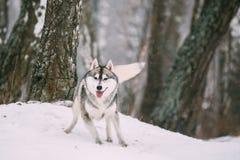 Campo de Husky Dog Running Outdoor In Nevado del siberiano en el día de invierno Fotos de archivo libres de regalías