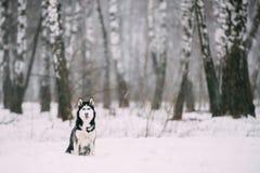 Campo de Husky Dog Sitting Outdoor In Nevado del siberiano en el día de invierno Imagenes de archivo