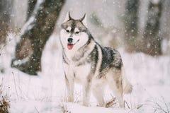 Campo de Husky Dog Walking Outdoor In Nevado del siberiano en el día de invierno Fotografía de archivo libre de regalías