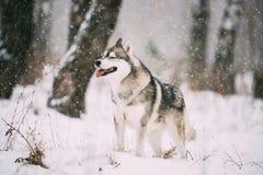 Campo de Husky Dog Walking Outdoor In Nevado del siberiano en el día de invierno Foto de archivo
