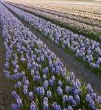 Campo de jacintos Foto de archivo libre de regalías