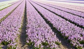 Campo de jacintos Fotografía de archivo