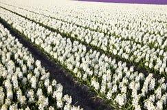 Campo de jacintos Foto de archivo