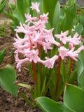 Campo de jacintos cor-de-rosa Imagens de Stock Royalty Free
