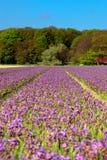 Campo de jacintos púrpuras en resorte Fotografía de archivo libre de regalías