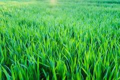 Campo de jogos novo da textura nova natural da grama verde Imagens de Stock