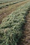 Campo 3 de la alfalfa Imagenes de archivo