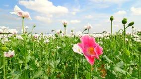 Campo de la amapola blanca El flor de amapolas y de la amapola verde dirige la mudanza en viento apacible, plantas verdes y cielo metrajes