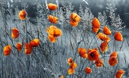 campo de la amapola, color selectivo Fotografía de archivo libre de regalías