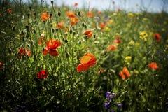 Campo de la amapola con la hierba verde y el cielo azul Foto de archivo