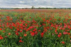 Campo de la amapola con las flores rojas florecientes Foto de archivo libre de regalías