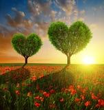 Campo de la amapola con los árboles en la forma del corazón en la puesta del sol Fotos de archivo libres de regalías
