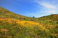 Campo de la amapola de California Fotografía de archivo libre de regalías