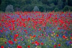 Campo de la amapola en la plena floración Imagenes de archivo