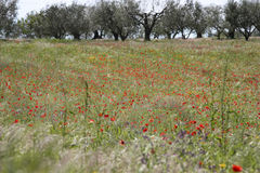 Campo de la amapola y de olivos Imagenes de archivo