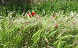 Campo de la amapola y de trigo con el viento que sopla Imagenes de archivo