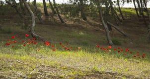 Campo de la anémona en el bosque Fotografía de archivo