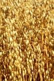 Campo de la avena Clava el primer de la avena en un fondo del oro Foto de archivo libre de regalías