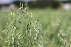 Campo de la avena Maduración del sector agrario de la cosecha futura de la industria agrícola Granja de la planta Crecimiento de  fotografía de archivo libre de regalías