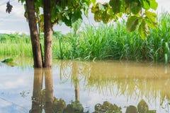 Campo de la caña de azúcar con la caña de azúcar de la inundación debajo del cielo azul y de los soles Imagen de archivo libre de regalías