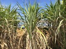 Campo de la caña de azúcar en la granja de la agricultura en cielo azul Fotos de archivo libres de regalías