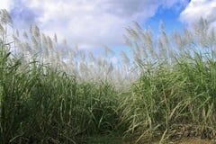 Campo de la caña de azúcar Imagen de archivo libre de regalías