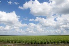 Campo de la caña de azúcar Fotografía de archivo