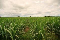 Campo de la caña de azúcar Imagen de archivo