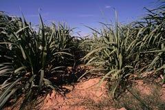 Campo de la caña de azúcar Foto de archivo libre de regalías