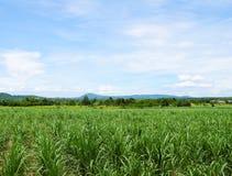 Campo de la caña de azúcar con el fondo del cielo azul Recorrido en Tailandia imagenes de archivo