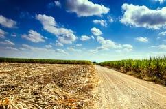 Campo de la caña de azúcar en cielo azul Fotos de archivo