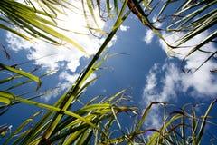 Campo de la caña de azúcar en Isla Mauricio, África Foto de archivo libre de regalías