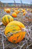 Campo de la calabaza en el otoño, foco selectivo fotos de archivo libres de regalías